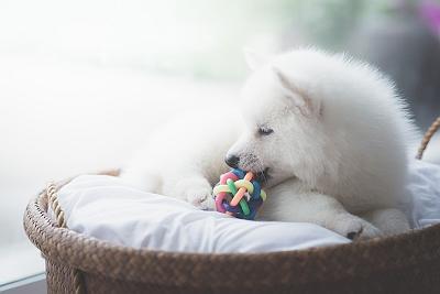 White Husky 1