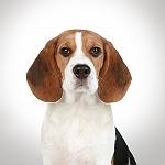 Captain Zack The Beagle Groom Box-Non Veg