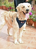Mutt Of Course Organic Dark Denim Harness For Dogs - Medium