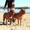 leonados-del-parana-dogue-de-bordeaux-french-mastiff