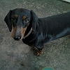romi-dachshund-standard-long-smooth-wire-haired