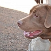 brown-labrador-retriever