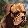 brownie-dogue-de-bordeaux-french-mastiff_1