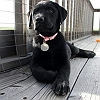 buddy-labrador-retriever_12