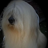 lucky-lhasa-apso_1
