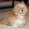 candy-lhasa-apso