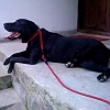 tomy-labrador-retriever_1
