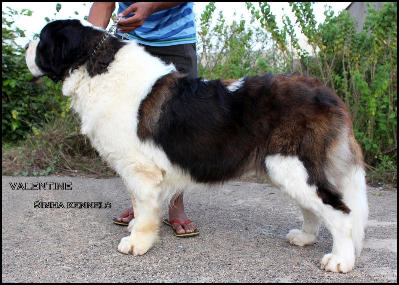 saint bernard puppies sale in bangalore dating