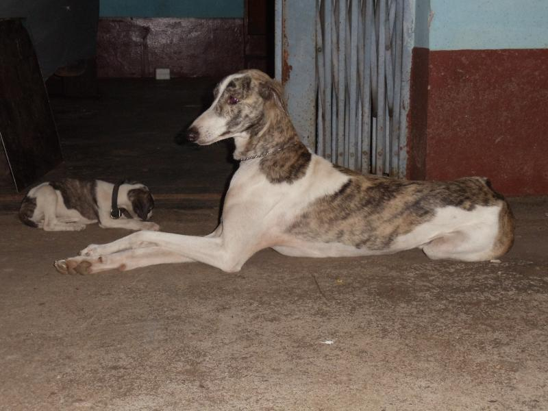 Mudhol Hound Dog | DogSpot.in