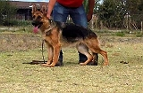 SHOW QUALITY GSD FEMALE FOR SALE