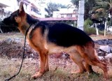 SHOW QUALITY GSD MALE FOR SALE