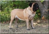 IND.CH.MASTIFF HILLS MY LOVELY CANDY