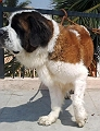 Saint Bernard Top quality Adult dogs for sale in Bangalore