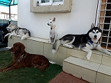 Huskies - Xena and Max, Tuffy the Irish Setter, and Donna the Indian Hound