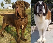 Saint Bernard & Neapolitan mastiff adult female for sale
