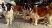 Al types of SAINT BERNARD Dogs,adult & puppies for sale