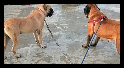 TAISAN  English Mastiff  3