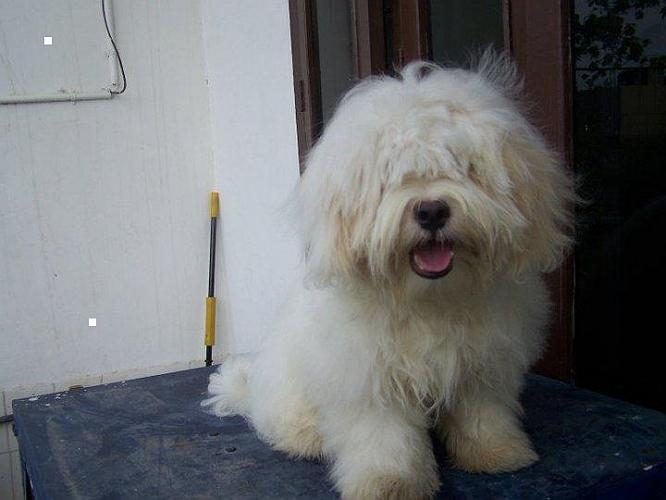 Lhasa Apso image
