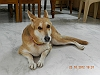 German Shepherd Dog (Alsatian) | Nagesh Ravuri