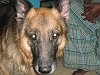 German Shepherd Dog (Alsatian) | Sudhakar