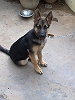 German Shepherd Dog (Alsatian) | Vikranth Mudhiraj