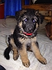 German Shepherd Dog (Alsatian) | Santosh Singh