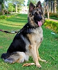 German Shepherd Dog (Alsatian) | Hessamkhazraj