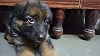 German Shepherd Dog (Alsatian) | simran