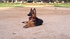 German Shepherd Dog (Alsatian) | Ln Chowdary