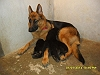 German Shepherd Dog (Alsatian) | dhanraj