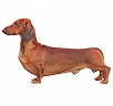 Dachshund Standard (Smooth Haired)