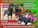 3 COUNTRY CHAMPION'S PUPS ROTTWELIER
