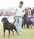 rottweil er kennel India:Vo m Carnivou s kennel