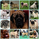 Royal KANNE PUG AND MASTIFFS