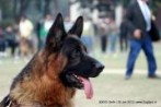 GSDCI Delhi | DogSpot.in | Dogs India