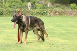 Working GSD | GSD, ALsatian, Dog Training