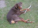 | red, brown, doberman, dobermann, pinscher, kyuss