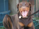 | red dobermann