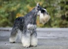 Am.Ch.Repititions Lynch Pin. | miniature schnauzer - salt and pepper