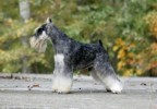Am.Ch.Repititions Lynch Pin. | miniature schnauzer, salt and pepper