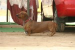Bareilly Dog Show | dachshund,