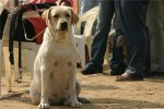 Bareilly Dog Show | labrador,