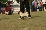 Bareilly Dog Show | pug,