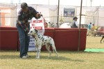Bareilly Dog Show | dalmatian,