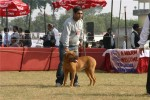 Bareilly Dog Show | mastiff,