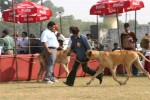 Bareilly Dog Show | greatdane,ring2,