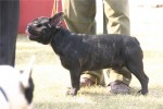 Bareilly Dog Show | frenchbulldog,