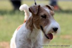 Baroda Dog Show 4th Nov 2012 | sw-64, ex-33,fox terrier,