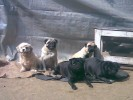 black and fawn pug female | black pug female