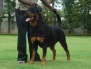 Ch Rottweiler | Puppies available!!!! Contact sidhar73@gmail.com